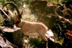 "FILM: ZAC GRIFFITH'S FLORIDA MOUNTAINS IBEX HUNT: ""Season 2, Week 1″"