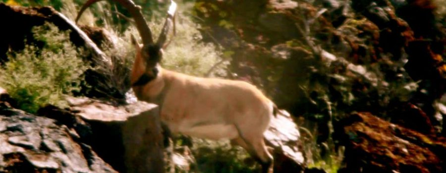 "FILM:  ZAC GRIFFITH'S FLORIDA MOUNTAINS IBEX HUNT:  ""Season 2, Week 1"""