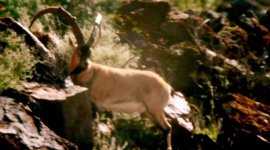 "FILM:  ZAC GRIFFITH'S FLORIDA MOUNTAINS IBEX HUNT:  ""Season 2, Week 1"""