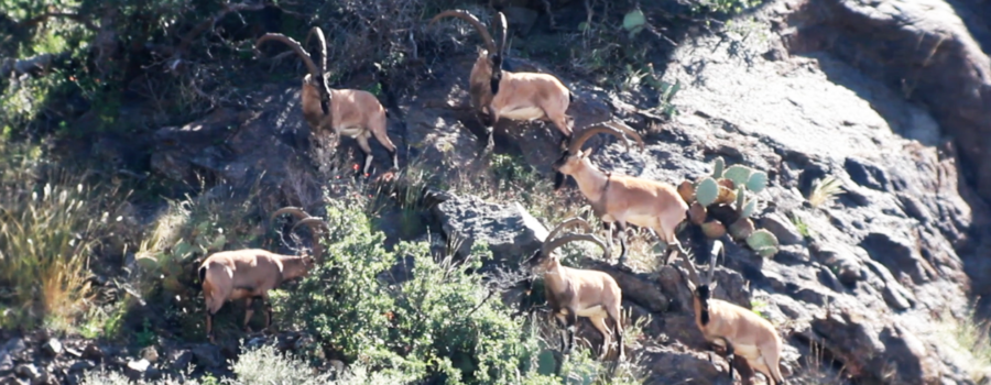 "FILM: ZAC GRIFFITH'S FLORIDA MOUNTAINS IBEX HUNT: ""Season 2, Week 2″"