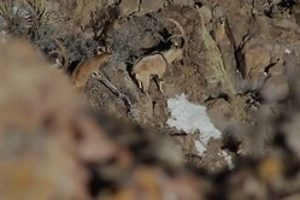 "FILM:  ZAC GRIFFITH'S FLORIDA MOUNTAINS IBEX HUNT:  ""SEASON 1, WEEK 2"""