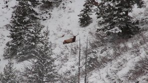 ZAC GRIFFITH UTAH ARCHERY ELK HUNT