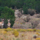 "FILM:  ZAC GRIFFITH'S NEW MEXICO ANTELOPE HUNT:  ""New Beginning…"""