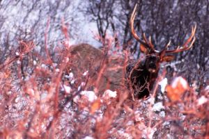 "ZAC GRIFFITH UTAH ARCHERY ELK HUNT:  ""Golden Brown: Season 2"""