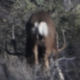 "GIANT DESERT MULEY: ""Yoga Buck"""