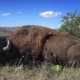 FILM:  ZAC GRIFFITH BUFFALO SAFARI: Part 2